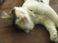 眠り猫ニャンチョビ.JPG